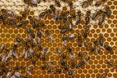 Close up of bees on honeycomb in apiary royalty free stock images