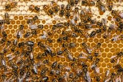 Close up of bees on honeycomb in apiary royalty free stock photos