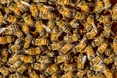 Closeup of bees on honeycomb in apiary Royalty Free Stock Images