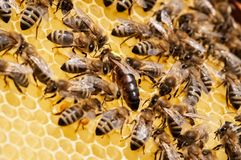 Closeup of bees on the honeycomb in beehive, apiary, selective focus stock photography