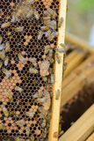 Closeup bees in their hive Royalty Free Stock Photography