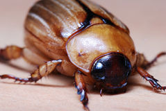 Closeup On Beetle Stock Image