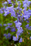 Closeup of bellflower Royalty Free Stock Image