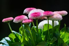 Bellis flower blossoms. Closeup of bellis flower blossoms Royalty Free Stock Image