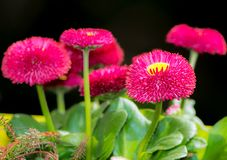Bellis flower blossoms. Closeup of bellis flower blossoms Stock Photos