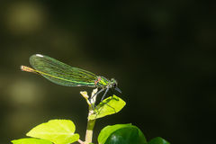 Closeup of a bended demoiselle, seen from the side Stock Images
