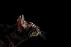 Closeup Bengal Cat Face i profilsikten som isoleras på svart arkivbilder