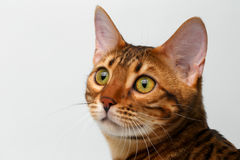 Closeup bengal cat looking up on white Royalty Free Stock Photos