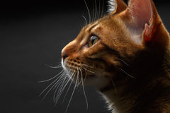 Closeup bengal cat profile view. On black background stock photography