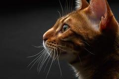 Closeup bengal cat profile view Stock Photography