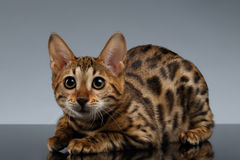Closeup Bengal Kitty Lies på mörk lutning royaltyfri fotografi