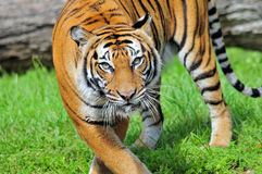 Closeup of a Bengal Tiger. Close-up of a Bengal tiger walking on the grass of a South Florida zoo royalty free stock photography