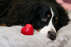 Closeup Bernese Mountain dog lying on beige bed near red heart as a symbol of love. Valentine`s day and International women`s da stock images