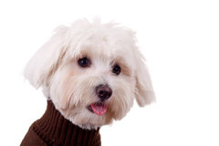 Closeup of a bichon maltese Royalty Free Stock Photo