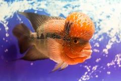 Closeup big aquarium fish the flower horn Royalty Free Stock Photos