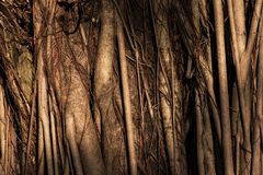 Banyan tree textured background at sunrise. Closeup big banyan tree body with complicated root tight with sunrise light. Natural textured background royalty free stock photos