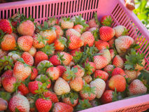 Closeup of big basket of freshly picked organic strawberry in wo Royalty Free Stock Photos