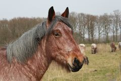 A brown horse closeup in the fields in a nature reserve. Closeup of a big brown craft horse in the field with a group grazing horses royalty free stock images