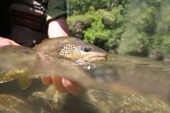Closeup of big brown trout Stock Photos