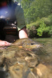 Closeup of big brown trout Royalty Free Stock Images