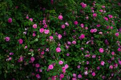 Closeup of a big bush with a lot of pink roses with dark green leaves. Summer roses stock images