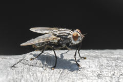Closeup of a big fly Royalty Free Stock Image