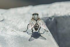Closeup of a big fly Royalty Free Stock Photos