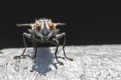 Closeup of a big fly Stock Image