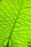 Closeup of the big grean leaf Stock Photo