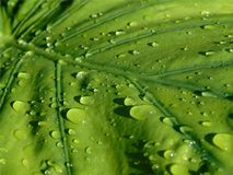 Closeup of a large green Alocasia leaf with drops of rain sliding over it, background of a plant after the rain