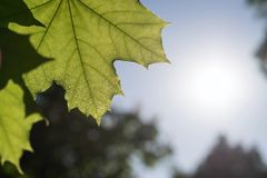 Closeup of big green leaf a maple against the sky Stock Photo