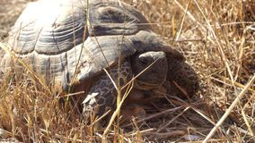 Closeup of a big land turtle. Close up of a big land turtle stock footage