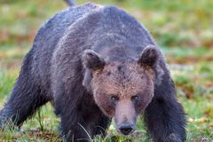 Closeup of a big male brown bear in summer stock image