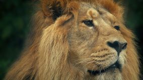 Lion Face Portrait. Closeup of a big male lion looking around in the jungle stock video footage