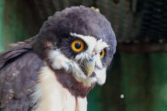 Closeup of big owl with yellow eyes