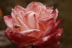 Closeup of Big Pink rose flower dying on steam a lot of space for text selective focus. Wilted rose in autumn garden Royalty Free Stock Images