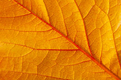 A closeup of a big red autumn leaf Royalty Free Stock Photography
