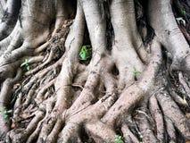 Closeup big roots of old tree Stock Photos