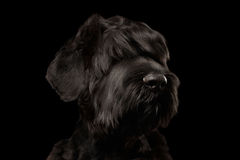 Closeup Big Russian Black Terrier Dog Looking in Camera,  Isolated Royalty Free Stock Photo