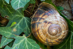 Closeup of a Big snail in her house on ivy leaves Royalty Free Stock Photo