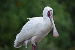 Closeup of a white African Spoonbill with a red pecker in South Africa. Closeup of a big white African Spoonbill with a red pecker in South Africa stock image