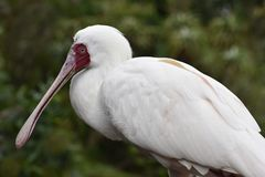 Closeup of a white African Spoonbill with a red pecker in South Africa. Closeup of a big white African Spoonbill with a red pecker in South Africa stock photo