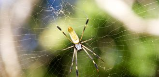 Closeup big yellow spider on the web. Stock Photos