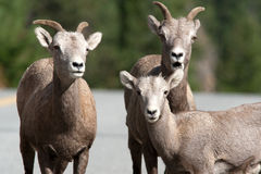 Closeup of bighorn sheep. Royalty Free Stock Images