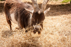 Closeup of Billy Goat Eating Hay Royalty Free Stock Photo