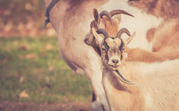 Closeup of billy goats looking straight ahead in field in warm retro look Royalty Free Stock Photography