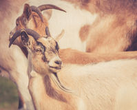 Closeup of billy goats walking in field in warm retro look Royalty Free Stock Images