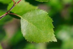 Closeup of a birch leaf Stock Photos
