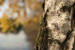 Closeup birch trunk in autumn Stock Photography