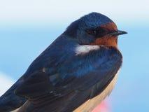 Closeup of bird, barn swallow (Hirundo rustica) Royalty Free Stock Photography